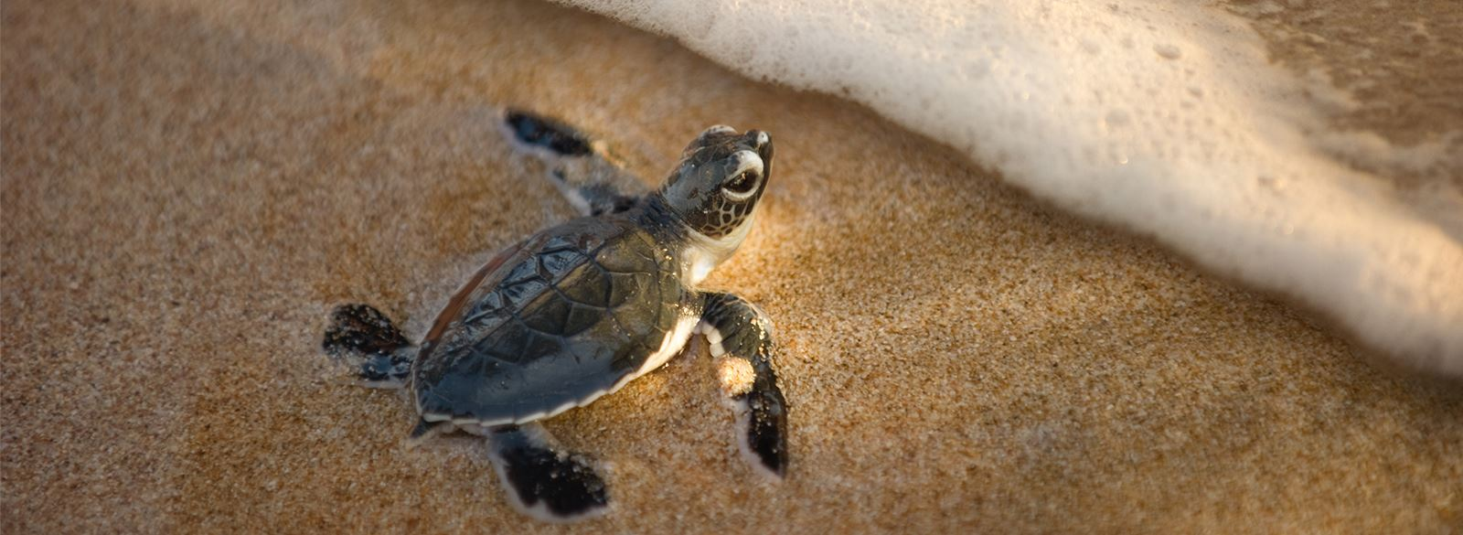 Baby sea turtle on sandy beach