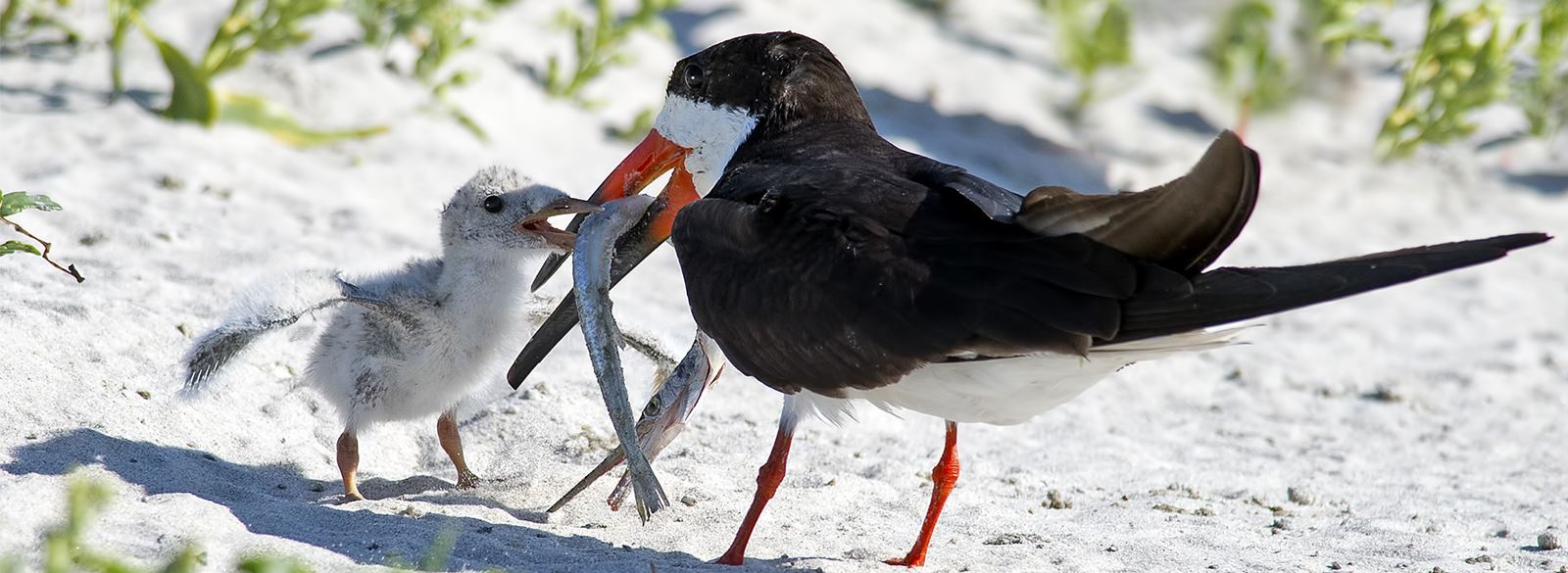 Black Skimmer feeding baby on beach