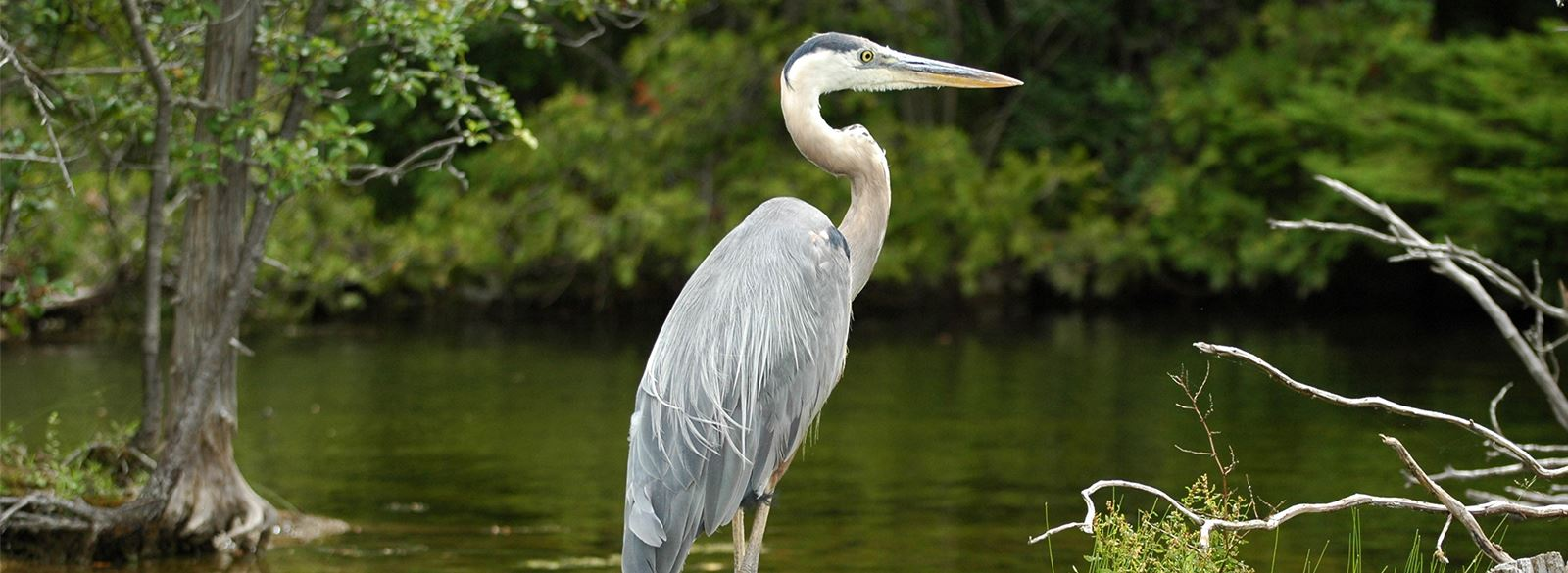 Blue heron standing in front of waterfront